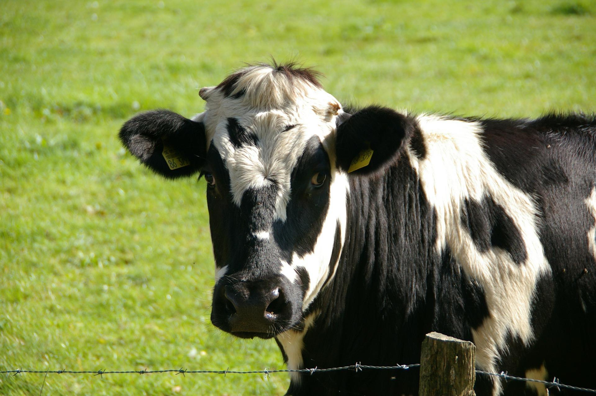 cow-234835_1920